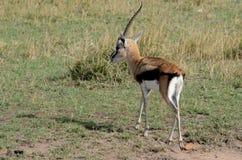 Thompsons Gazelle με ένα κέρατο Tom Wurl Στοκ φωτογραφίες με δικαίωμα ελεύθερης χρήσης