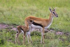Thompsons gazelle Royaltyfri Foto