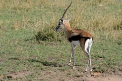 Thompsons Gazelle with One Horn Tom Wurl Royalty Free Stock Photos