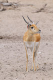Thompsons Gazelle. Tommy or African Thompson Gazelle royalty free stock images
