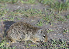 Thompsons Ground Squirrel near his burrow. Royalty Free Stock Images