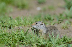 Thompsons Ground Squirrel near his burrow. Stock Image