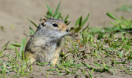 Thompsons Ground Squirrel near his burrow. Royalty Free Stock Photos