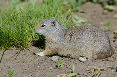 Thompsons Ground Squirrel near his burrow. Royalty Free Stock Photos