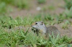 Thompsons Zmielona wiewiórka blisko jego nory Obraz Stock
