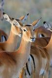Thomson gazela na sawannie w Afryka Zdjęcie Stock
