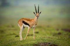 Thomson gazela rusza się foreleg plecy na kopu Zdjęcie Royalty Free