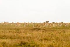 Thomson gazela w Serengeti ekosystemu Obraz Stock