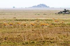 Thomson gazela w Serengeti ekosystemu Zdjęcie Royalty Free