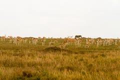 Thomson gazela w Serengeti ekosystemu Obraz Royalty Free