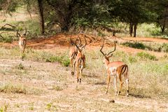 Thomson gazela w Tanzania, Afryka Zdjęcie Royalty Free