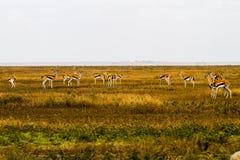 Thomson gazela w Tanzania, Afryka Zdjęcia Royalty Free
