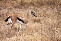 thomson gazelle ювенильное s стоковое фото