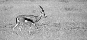 Thomson Gazelle. Black and white Thomson gazelle taken in Ngorongoro crater national reserve, Tanzania Stock Photography
