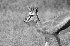 Thomson Gazelle. Black and white Thomson gazelle taken in Ngorongoro crater national reserve, Tanzania Royalty Free Stock Photo