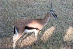 Thomson Gazelle Stock Images