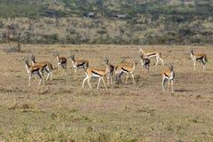 Thomson& x27 ; gazelle de s photographie stock libre de droits