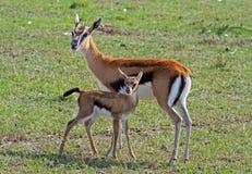 Thomson Gazelle Doe y su becerro en los llanos en Kenia fotos de archivo
