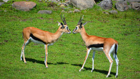 The Thomson gazelle. Eudorcas thomsonii is one of the best-known gazelles. It is named after explorer Joseph Thomson Royalty Free Stock Images