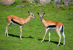 The Thomson gazelle. Eudorcas thomsonii is one of the best-known gazelles. It is named after explorer Joseph Thomson Stock Photo
