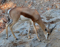 The Thomson gazelle. Eudorcas thomsonii is one of the best-known gazelles. It is named after explorer Joseph Thomson Royalty Free Stock Photography