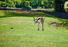 Thomson gazelle Royalty Free Stock Image