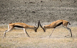 Thomson gazelle fight Stock Photos