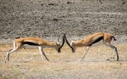 Thomson gazelle fight. 2 male Thomson gazelles fighting Stock Photos