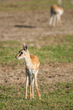 Thomson Gazelle on grassland. Royalty Free Stock Photo