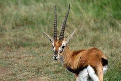 Thomson-gazelle, Maasai Mara Game Reserve, Kenya Royalty Free Stock Image