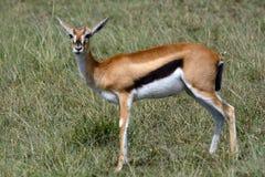 Thomson-gazelle, Maasai Mara Game Reserve, Kenya Royalty Free Stock Photos