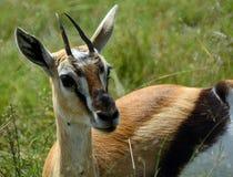 Thomson-gazelle, Maasai Mara Game Reserve, Kenya Royalty Free Stock Photography