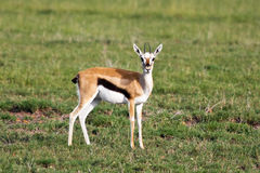 Thomson Gazelle Portrait Royalty Free Stock Image