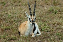 Thomson gazelle Stock Photos