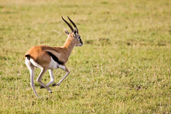 Thomson Gazelle Running in Serengeti. National Park, Tanzania stock image