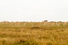 Thomson gazelle in Serengeti ecosystem. Thomson`s gazelle Eudorcas thomsonii, known as tommie, the most common type of gazelle in East Africa in Serengeti Stock Image