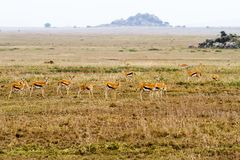Thomson gazelle in Serengeti ecosystem. Thomson`s gazelle Eudorcas thomsonii, known as tommie, the most common type of gazelle in East Africa in Serengeti Royalty Free Stock Photo