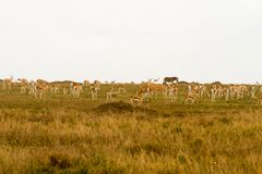 Thomson gazelle in Serengeti ecosystem. Thomson`s gazelle Eudorcas thomsonii, known as tommie, the most common type of gazelle in East Africa in Serengeti Royalty Free Stock Image
