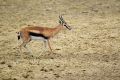 Thomson gazelle Royalty Free Stock Photography