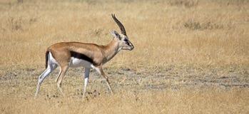 Thomson Gazelle. Taken in Ngorongoro crater national reserve, Tanzania Royalty Free Stock Images