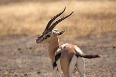 Thomson Gazelle. Taken in Ngorongoro crater national reserve, Tanzania Royalty Free Stock Photo