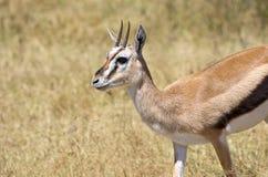 Thomson Gazelle. Taken in Ngorongoro crater national reserve, Tanzania Stock Images