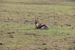 Thomson gazelle in the wild. Thomson gazelle sitting in the wild Royalty Free Stock Images