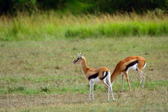 Thomson-gazelles, Maasai Mara Game Reserve, Kenya Royalty Free Stock Photography