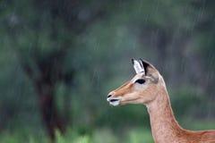 Thomson \ 'hembra del gazelle de s Fotografía de archivo
