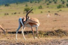 Thomson ` s gazela na sawannie Zdjęcia Royalty Free