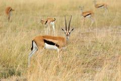 Thomson ` s gazela na sawannie Zdjęcie Royalty Free