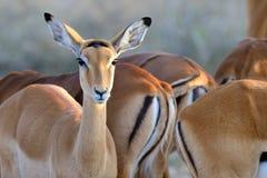 Thomson& x27; s gazela na sawannie w Afryka Obrazy Royalty Free