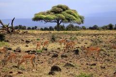 Thomson ` s gazela w Amboseli Fotografia Royalty Free