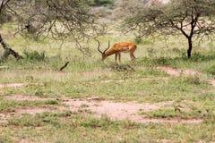 Thomson ` s gazela w Serengeti ekosystemu, Tanzania, Obrazy Royalty Free